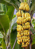 Banana tree with a bunch of ripe bananas Stock Image