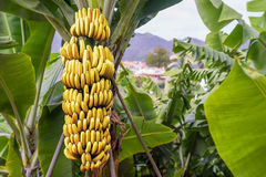 Banana tree with a bunch bananas. Banana tree with a bunch of ripe yellow bananas plantation Madeira royalty free stock images