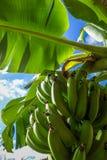 Banana tree detail, easter island Royalty Free Stock Photography