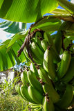 Banana tree detail, easter island Stock Images