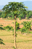 Papaya tree. On the edge of field longan tree and mountain as a background stock photo