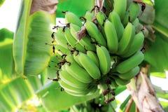 Banana on tree in a farm. Banana on tree with sunlight in a farm royalty free stock photo