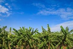 Banana tree in the farm Royalty Free Stock Image