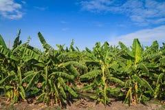 Banana tree in the farm Stock Photography