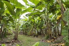 Banana tree farm Stock Photo
