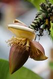 Banana tree flower. Blooming banana tree flower stock photography