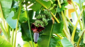 Banana tree. With flower and bananas Stock Photography