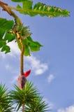 BANANA, TREE, FLOWER. Banana flowers hanging on a banana tree Stock Photo