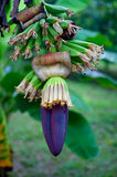 Banana tree with flower and green fruits Royalty Free Stock Images