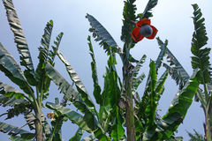 Banana tree with flower. An old banana tree with flower Stock Photo