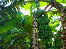 Banana Tree Natural stock photos