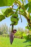 Banana tree with fruit Royalty Free Stock Photo