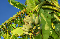 BANANA, TREE, FRUIT. Banana growing on tree, Crete, Greece Stock Image