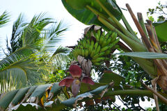 Banana tree with fruits. Stock Photography