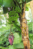 Banana tree with fruits. A banana tree with a single flower and a bunch of bananas hanging Stock Image