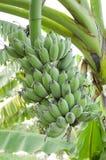 Banana tree Royalty Free Stock Photography