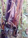 Banana tree. Garden Stock Images