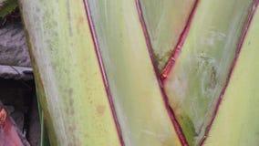 Banana tree at garden stock video