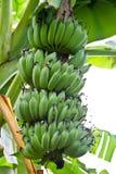 Banana on tree in the garden Stock Photos