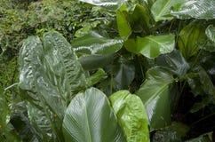 Banana tree garden. Banana trees in Singapore botanic garden after rain Royalty Free Stock Photos