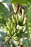 Bababa. Banana tree in a Gardne Royalty Free Stock Photo