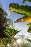 Banana tree and grass Royalty Free Stock Image