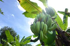 Banana tree with green bananas Royalty Free Stock Photography
