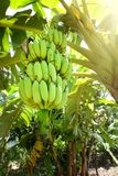 Banana tree with green bananas Stock Image