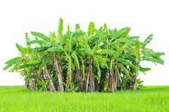 Banana tree green grass isolated on white Stock Photography