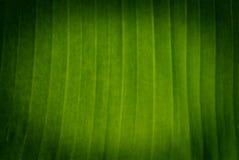 Banana tree green leaf Stock Image