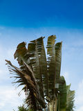 Banana tree and green leafs Royalty Free Stock Photos