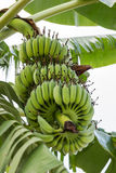 Banana tree. Green raw banana on the tree Royalty Free Stock Image