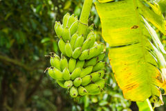 Banana tree with green scene Stock Image