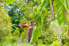 Banana tree with green scene Stock Photos