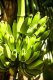 Banana Tree Royalty Free Stock Image