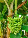 A banana on the tree. 