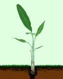Banana tree. Stock Photography