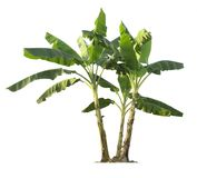 Banana tree isolated on white background with clipping paths for garden design. Banana tree isolated with clipping paths for garden design.Economic crops of stock photography