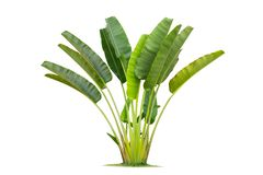 Banana tree isolated on white background. This can be used as a business card background and can be used as an advertising image royalty free stock photography