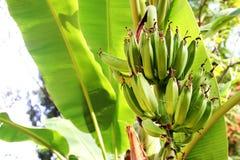 Banana tree in the jungle Stock Photos
