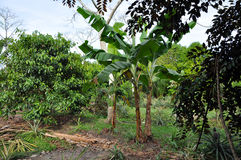 Banana tree in the jungle Royalty Free Stock Photography