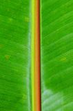 Banana Tree Leaf Royalty Free Stock Images