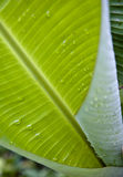Banana tree leaf Royalty Free Stock Images