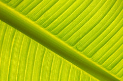 Banana tree leaf backlight. Banana tree leaf  backlight in spring Stock Photo