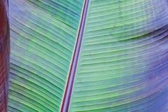 Banana tree leaf Stock Photos