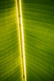 Banana tree leaf detail Royalty Free Stock Photos
