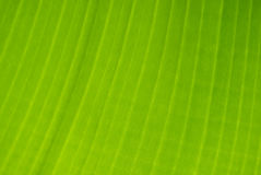 Banana tree leaf detail Stock Photo