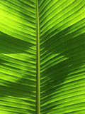 Banana tree leaf Stock Photography