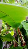 Banana tree leaf green summer royalty free stock photo