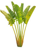 Banana tree and leaf Royalty Free Stock Photos